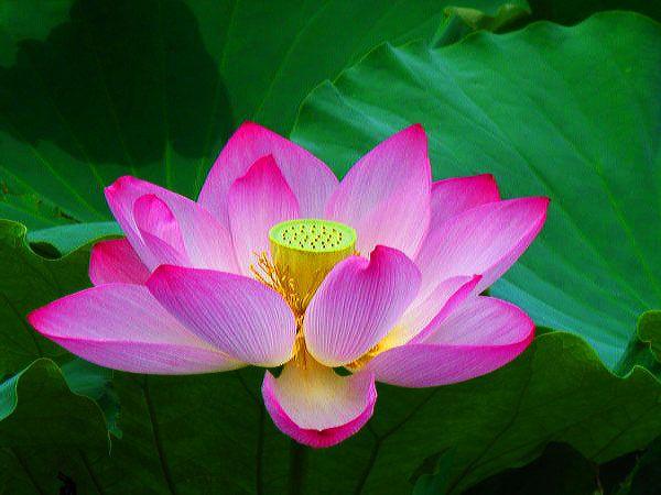 Nằm mơ thấy hoa sen có ý nghĩa gì đặc biệt